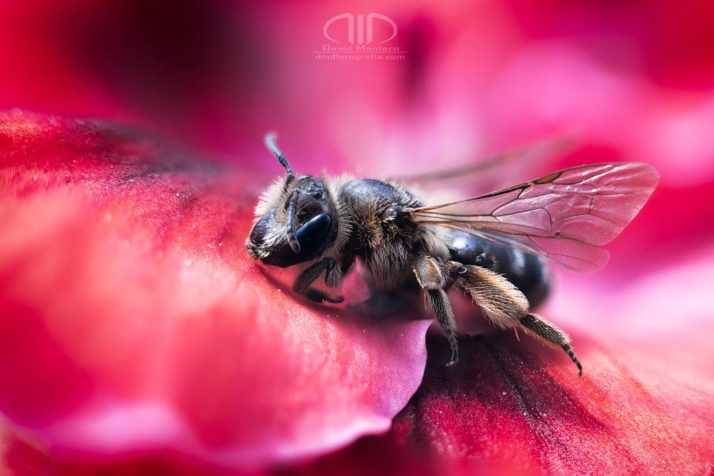 S17 Primavera - Probando la fotografía macro con una abeja