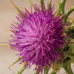S20 – La flor del cardo o Onopordum acanthium